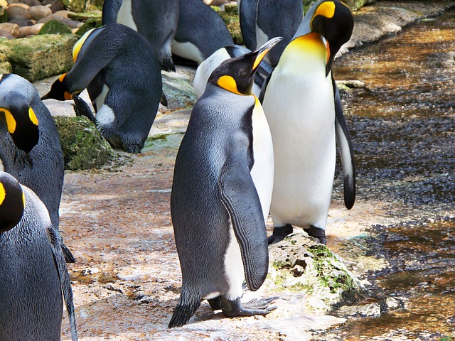 tučňáci u vody