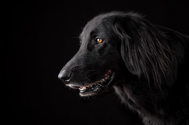 hlava černého psa